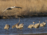 Sandhill Cranes (Grus Canadensis) Flying at Dusk, Platte River, Nebraska, USA Fotografie-Druck von William Sutton
