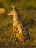 Black-Backed Jackal, Masai Mara Game Reserve, Kenya Photographic Print by Joe &amp; Mary Ann McDonald