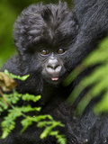 Umubano Group of Mountain Gorillas, Volcanoes National Park, Rwanda Fotografisk tryk af Ralph H. Bendjebar