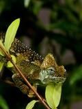 High-Casque Chameleon, Trioceros Hoehneli, Native to Kenya and Uganda Photographic Print by David Northcott
