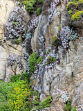 Flowers as Cliff Hangers. Garrapata State Park, Big Sur, California, USA Photographic Print by Tom Norring