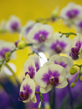Orchids for Sale at a Market in Taipei, Taiwan Photographic Print by David H. Wells
