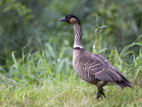 Nene Hawaiian Goose on the Island of Kauai, Hawaii, USA Photographic Print by David R. Frazier