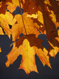 Autumn Leaves Glow Orange and Red in Brilliant Light. Providence, Rhode Island, USA Photographic Print by David H. Wells