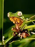 Razor Backed Monkey Frog, Phyllomedusa Hypocondryialis Azurea, Native to Paraguay Photographic Print by David Northcott