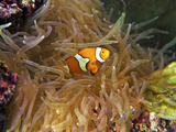 Close Up of a Clown Fish in an Anemone, Nadi, Fiji Photographic Print by Miva Stock