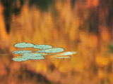 Lily Pads, White Mountains, New Hampshire, USA Photographic Print by Dennis Flaherty