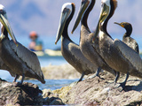Brown Pelicans and Double-Crested Cormorant, Punta Baja, Isla Carmen, Baja, Sea of Cortez, Mexico Photographic Print by Gary Luhm