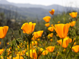 Golden California Poppies, Santa Cruz Coast, California, USA Photographic Print by Tom Norring