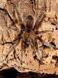 Chilean Beautiful Tarantula, Euathlus Truculentus, Photographic Print by David Northcott
