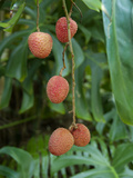 Tropical Litchi Fruit on Tree, Reunion Island, French Overseas Territory Fotografie-Druck von Cindy Miller Hopkins