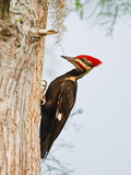 Pileated Woodpecker, Caddo Lake, Texas, USA Photographic Print by Larry Ditto