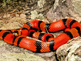 Honduran Milk Snake (Tangerine Phase), Lampropeltis Triangulum Hondurensis, Central Mexico Photographic Print by David Northcott