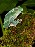 Giant Gliding Treefrog, Polypedates Sp., Native to Vietnam Photographic Print by David Northcott