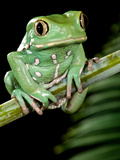 Painted Monkey Frog Phyllomedunited States of America Savaugii Native to Paraguay Photographic Print by David Northcott
