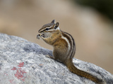 Chipmunk, Rocky Mountain National Park, Colorado, USA Photographic Print by Jamie & Judy Wild