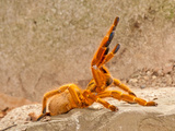 Usacambara Orange Baboon Spider, Pternochilus Murinus, Central Eastern and Southern Africa Photographic Print by David Northcott