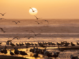 Sea Birds on Beach, Sun Setting in Mist, Santa Cruz Coast, California, USA, Photographic Print by Tom Norring