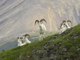 Dam Sheep Rams, Denali Park Road, Alaska, USA Photographic Print by Hugh Rose