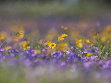 Roadside Wildflowers, Texas, USA Photographic Print by Larry Ditto