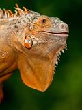 Green Iguana, Iguana Iguana, Native to Mexico and Central America Fotografisk trykk av David Northcott