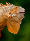 Green Iguana, Iguana Iguana, Native to Mexico and Central America Photographic Print by David Northcott