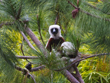 Coquerel's Sifaka, Perinet Reserve, Toamasina, Madagascar Photographic Print by Keren Su