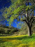 Oaks and Flowers, California, USA Fotografie-Druck von John Alves