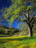 Oaks and Flowers, California, USA Photographic Print by John Alves
