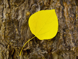 Aspen Leaf, Lake Tahoe, California, USA Photographic Print by Jan & Stoney Edwards