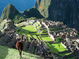 Llama, Machu Picchu, Peru Photographic Print by Miva Stock