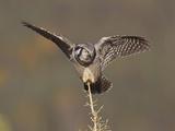Northern Hawk Owl, Arctic National Wildlife Refuge, Alaska, USA Photographic Print by Hugh Rose