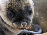 Sea Lion Pup, Galapagos Islands, Ecuador Photographic Print by Kymri Wilt