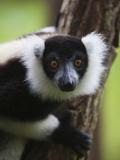 Lemur, Perinet Reserve, Toamasina, Madagascar Photographic Print by Keren Su