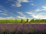 Lavender Field and Vineyard, Walla Walla, Washington, USA Photographic Print by Richard Duval