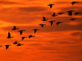 Flying Birds Silhouette, Cape May, New Jersey, USA Photographic Print by Jay O'brien