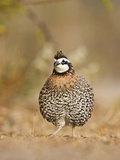Northern Bobwhite, Texas, USA Photographie par Larry Ditto