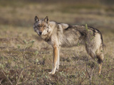 Gray Wolf, Denali National Park, Alaska, USA Photographic Print by Hugh Rose