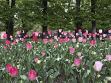 A Bed of Tulips at Luxembourg Gardens, Paris, France Photographic Print by William Sutton