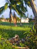 Baby Albatross, Makai Golf Course, Kauai, Hawaii, USA Photographic Print by Micah Wright