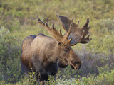Bull Moose, Denali National Park, Alaska, USA Photographic Print by Hugh Rose