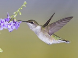 Ruby-Throated Hummingbird, Texas, USA Photographic Print by Larry Ditto