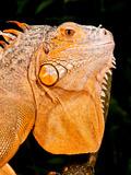 Green Iguana, Iguana Iguana, Native to Mexico and Central America Photographic Print by David Northcott