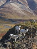 Dall Sheep Rams, Denali National Park, Alaska, USA Photographic Print by Hugh Rose