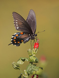 Pipevine Swallowtail, Texas, USA Photographic Print by Larry Ditto