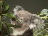Koala (Phascolarctos Cinereus), Sydney, New South Wales, Australia Photographic Print by David Wall