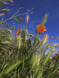 Weeds and Poppies from Worms-View, Santa Cruz Coast, California, USA Photographic Print by Tom Norring
