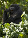 Mountain Gorilla, Volcanoes National Park, Rwanda Fotografisk tryk af Joe & Mary Ann McDonald