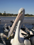 Australian Pelicans (Pelecanus Conspicillatus), at the Entrance, New South Wales, Australia Photographic Print by David Wall