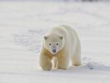 Polar Bear Cub, Arctic National Wildlife Refuge, Alaska, USA Photographic Print by Hugh Rose